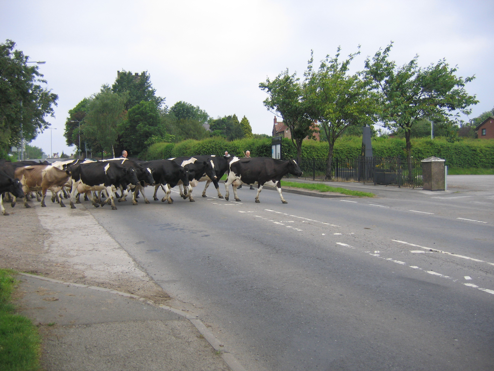 cows-at-trowell