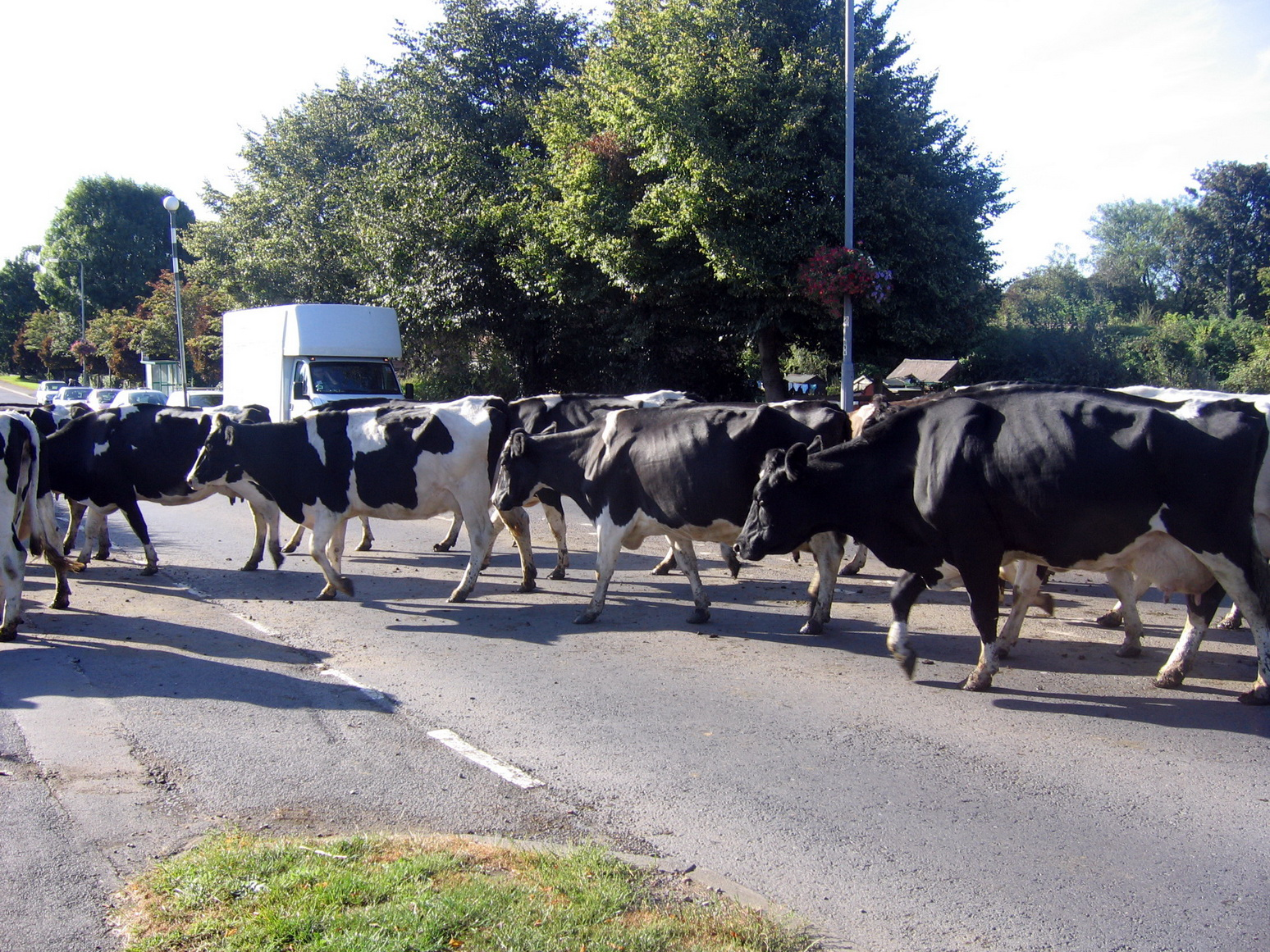 cows-outside-the-parish-hall