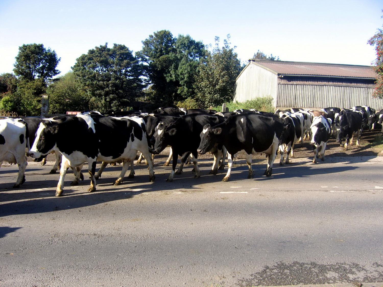 trowell-cattle-crossing